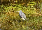 Tricolored Heron in the Florida Everglades on the Anhinga Trail poster