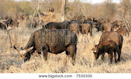 Herd of African Buffaloes Sabi Sands Kruger National Park South Africa poster