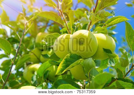 Fresh green apple tree background, ripe juicy fruits on the twigs, sunny day, autumn harvest season, vitamins and healthy food concept