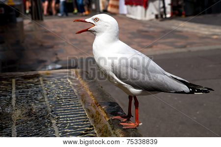 Closeup of thirsty seagull drinking from man-made water fountain in middle of crowds poster