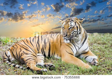 Wary tiger resting in a grassy field at dawn poster