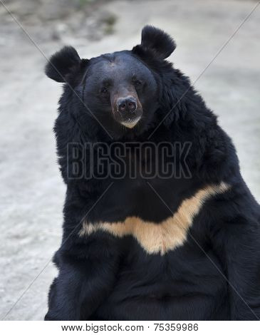 Eye to eye contact with an Asiatic black bear.