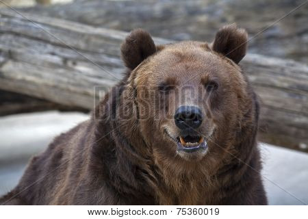 Sneer grimace on the face of a brown bear female.
