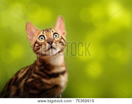 Cat against blurred green background. Bengal kitten