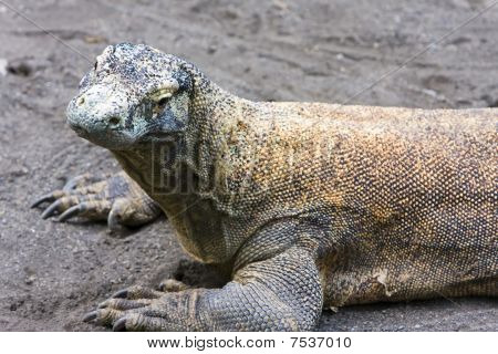 Huge monitor lizard on grey sand,Close up in a sunny day poster