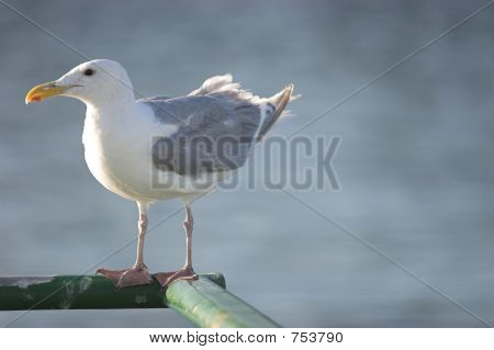 seagull on ferry looking left