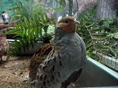 Very beautiful motley quail sits in Moscow zoo poster