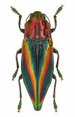 Rainbow Coloured Jewel Beetle Cyphogastra Javanica From Indonesia isolated on white poster