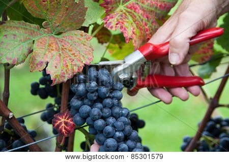 Hand cutting grape