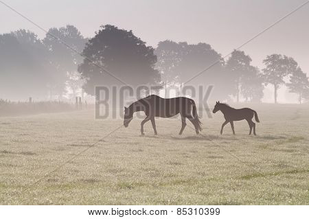 Horse Family Walk On Misty Pasture
