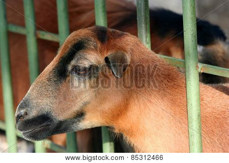 A goat behind fence, unhappy animal behing fence