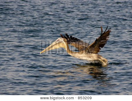 brown pelican is taking off the surface of the mission bay in san diego, california. wingtips are motion blurred. poster