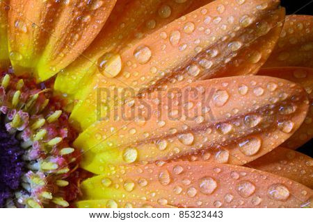 Wet Orange Daisy Petals