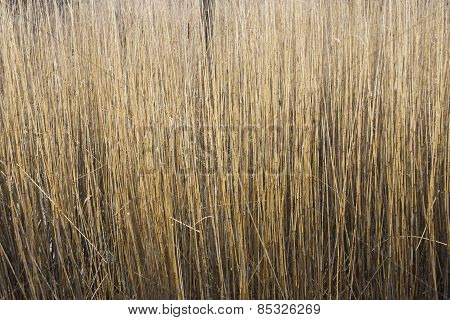 Reed Stems