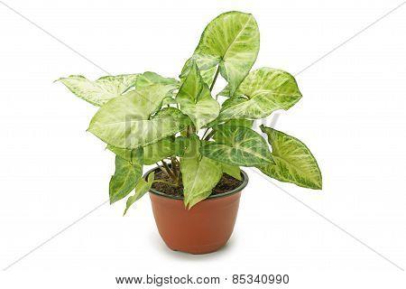 Houseplant Syngonium