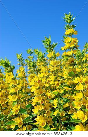 Yellow Lysimachia flowers