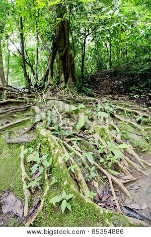 Big Tree Roots And River In Tropical Rainforest,namtok Huai Mae Khami, Thailand