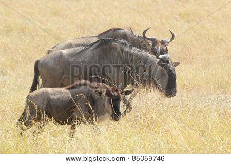 Group Of Blue Wildebeests Grazing