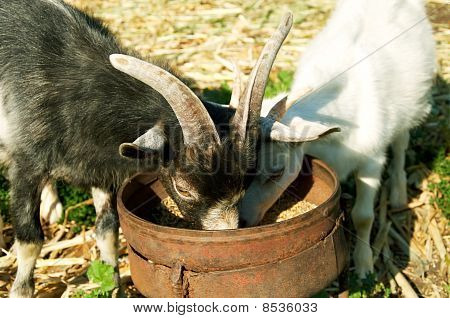 Two Little Goats Eat