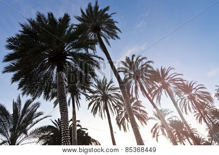 Silhouettes Of Palm Trees Group At Sunset With Blue Sky