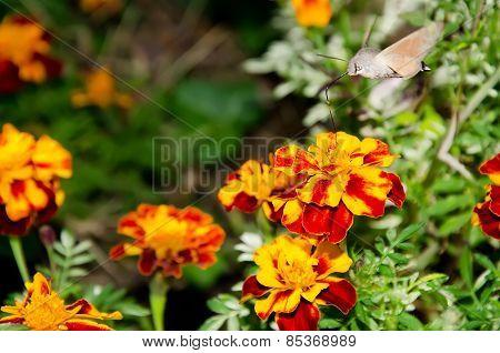 Macroglossum Stellatarum On Flower