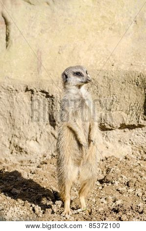 Profile Portrait On A Lone Short-tailed Meerkat Standing To Attention On Sentry Duty