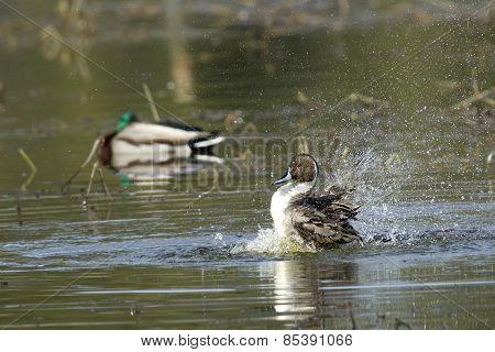 Pintail Splashes Around In Water.