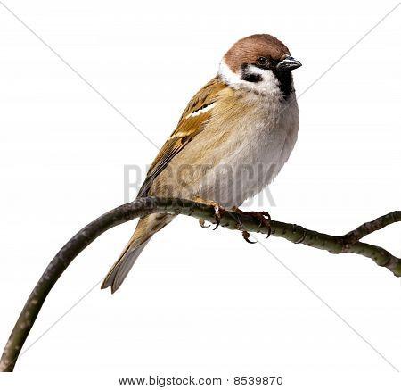 Passer Montanus, Tree Sparrow