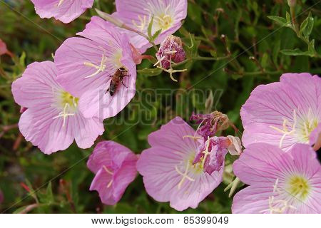 Pink Primarosa And Bee