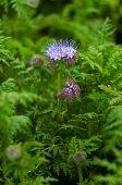 Green manure phacelia tanacetifolia flower and crop poster