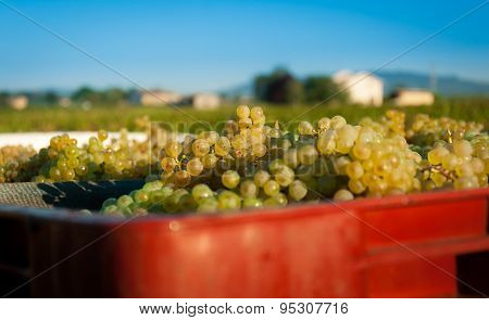 Grappes of vines