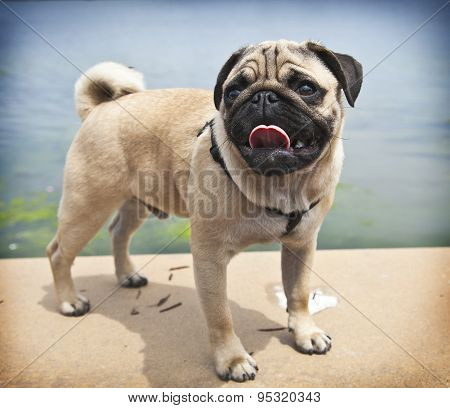 Pug puppy standing in front of the lake background