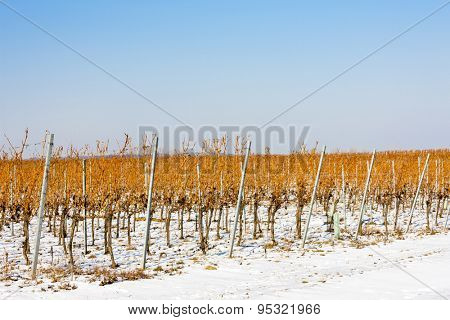 winter vineyard, Southern Moravia, Czech Republic