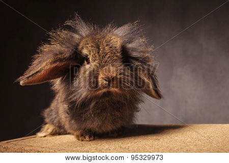 fluffy little lion head bunny rabbit standing on a wooden box against grey studio background poster