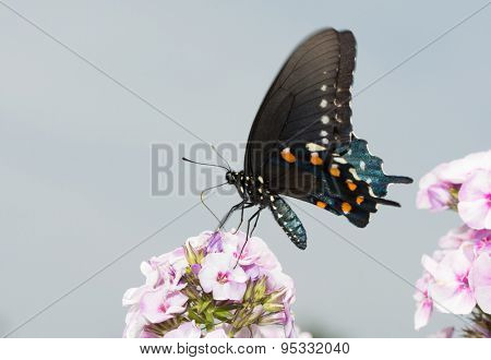 Pipevine Swallowtail butterfly on pink Phlox blooms in summer sunlight