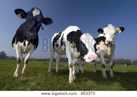 Flemish Cow In The Field