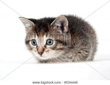 Tabby Kitten On White