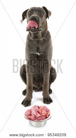 Cane corso italiano dog with food, isolated on white