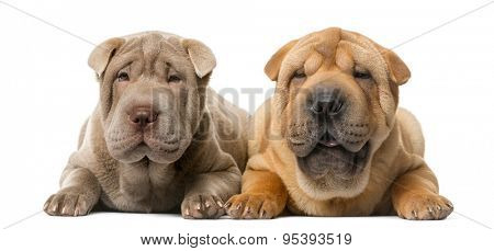 Two Shar Pei puppies (5 months old) in front of a white background