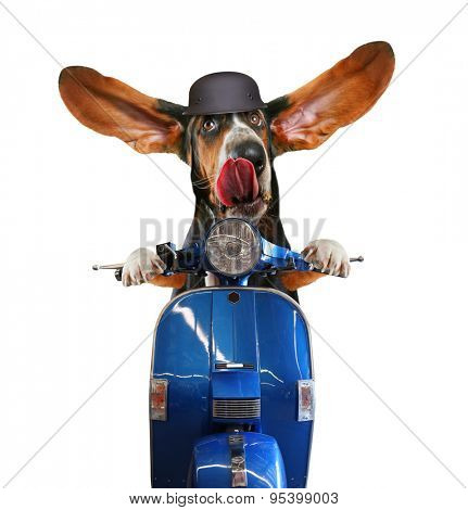 a basset hound riding on a scooter with his ears flapping and his tongue licking his nose isolated on a white background