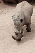 closeup of wild rhinoceros walking through a land poster