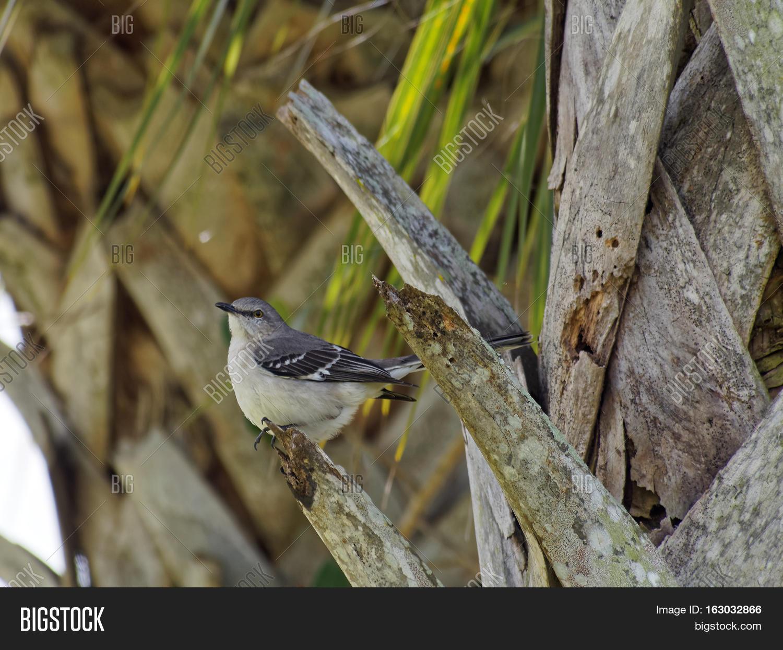 Northern Mockingbird Image & Photo (Free Trial)   Bigstock