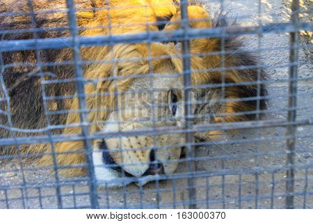 Lion in a cage in a zoo