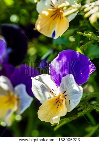 Group of small flowering violets in blue and white in the garden in the spring in Sweden.