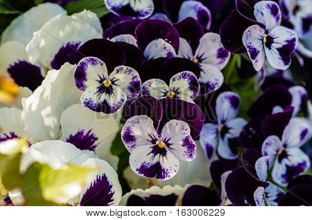 Group of small flowering violets in purple and white in the garden in the spring in Sweden.