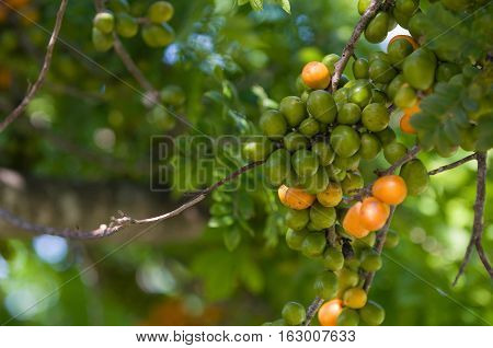 hog plum plant. green, outdoors, horizontal image, toned image