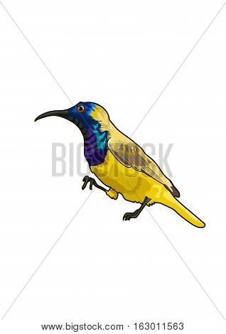 The small yellow sunbird  on a white background.