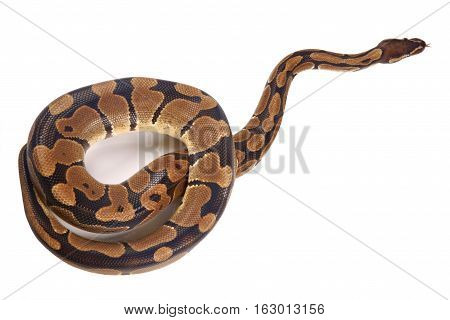Python regius with tongue sticking out on white background it is also known as royal python or ball python