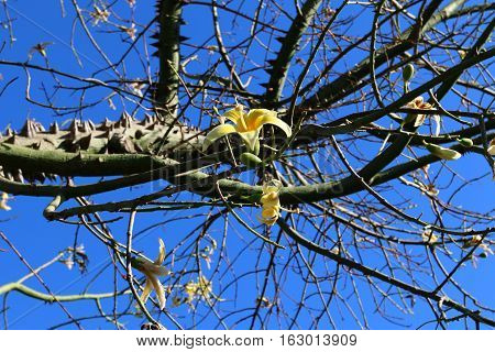 The trunk and large branches covered with cotton tree is very large, prickly thorns.