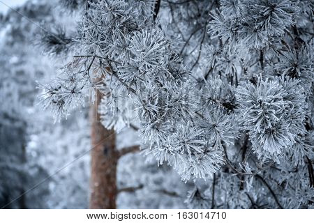 Winter season. Pine branches with needles covered by frost on foreground. Pine trees on background. Focus on foreground.